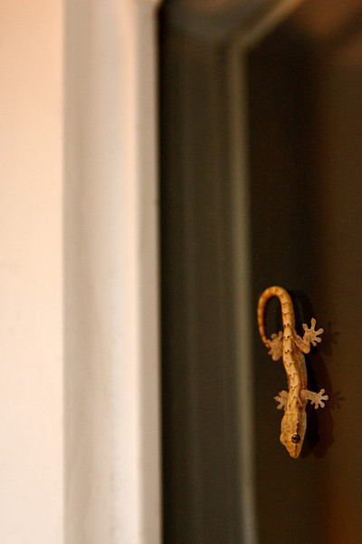 Indoor Gecko