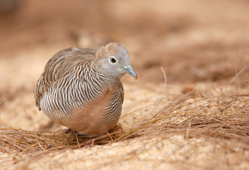 Foraging Zebra Dove