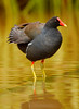 Hawaiian Gallinule