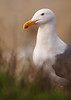 Seagull in Grass