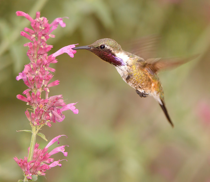 Male Lucifer Hummingbird Feeding