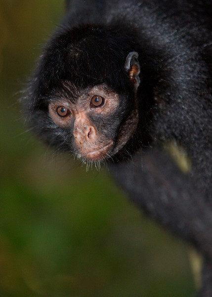 Spider Monkey Portrait, Amazon Basin
