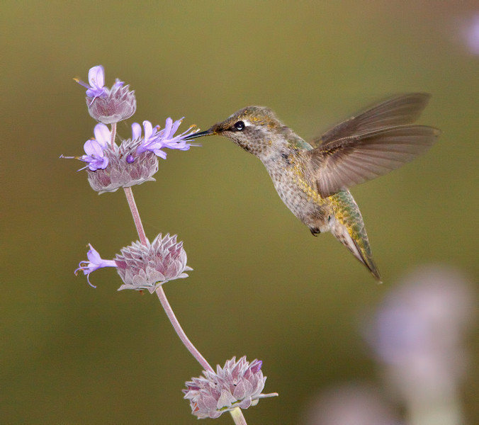 Black-Chinned Hummingbird and Sage, Anstine Preserve