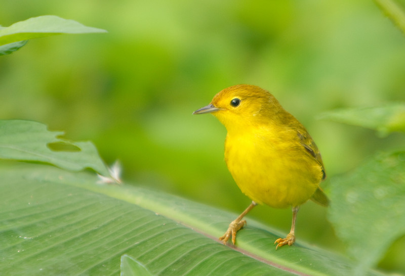 Yellow Warbler on Leaf, Isla San Cristobal