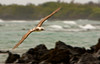 Blue-footed Booby in Flight, Isla Isabela