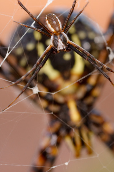 Courting Spiders