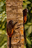 Tamarins Clinging, Amazon Basin