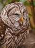Barred Owl Yawn