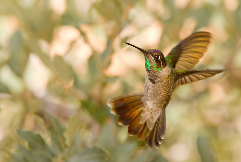 Magnificent Hummingbird Turning