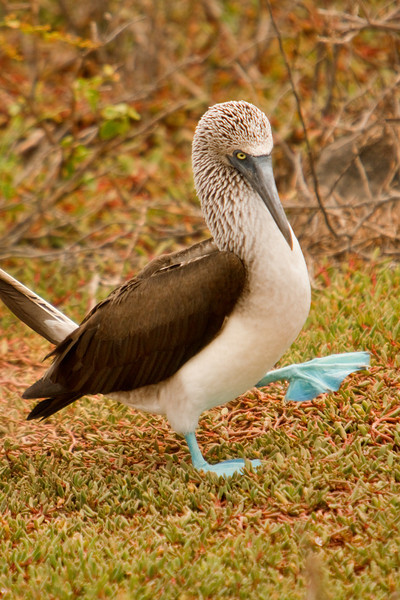 Booby Courtship Display, Isla Seymour