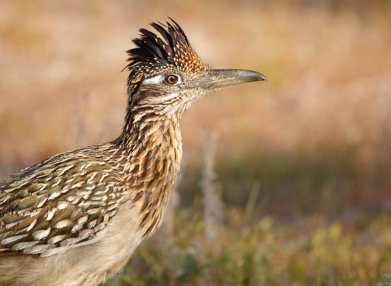 Roadrunner Profile