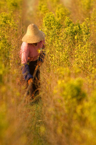 Working the Fields, Xishuangbanna