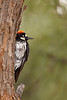 Acorn Woodpecker Peeking