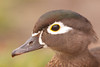 Female Wood Duck Portrait