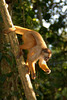 Capuchin Going Down, Amazon Basin