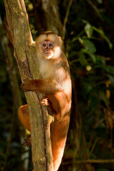 Capuchin Looking, Amazon Basin