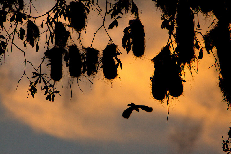 Hanging Nests, Amazon Basin
