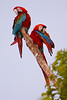 Macaws Preening, Amazon Basin