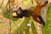 Tamarin Eating, Amazon Basin