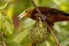 Oropendola Eating, Amazon Basin