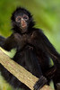 Spider Monkey Juvenile, Amazon Basin