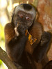 Capuchin Eating, Amazon Basin