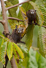 Tamarins Startled, Amazon Basin