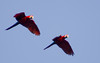 Scarlet Macaws in Flight, Amazon Basin