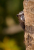 Tamarin Peering, Amazon Basin