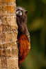 Tamarin Hanging On, Amazon Basin