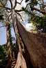 Towering Iron Tree, Amazon Basin