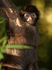 Spider Monkey Hanging, Amazon Basin