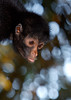 Pouting Spider Monkey, Amazon Basin