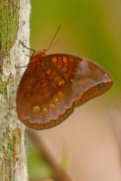 Colorful Butterfly, Amazon Basin