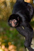Spider Monkey Descent, Amazon Basin