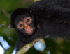 Spider Monkey, Amazon Basin