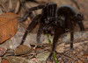 Tarantula Emerging, Amazon Basin