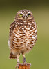 Burrowing Owl on Post