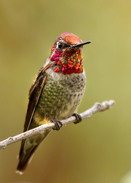 Anna's Hummingbird Perched