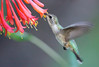 Female Hummingbird Feeding