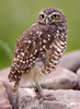 Burrowing Owl On Rocks