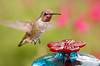 Immature Hybrid Hummingbird And Glass Feeder