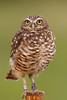 Female Burrowing Owl