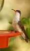 Voilet-Crowned Hummingbird