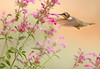 Female Hummingbird and Pink Flowers