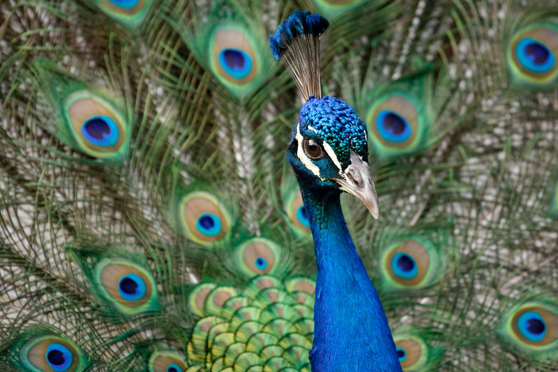 Peafowl and Display