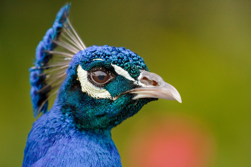 Peafowl Portrait