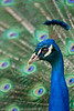 Peafowl Profile