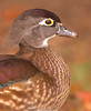 Female Wood Duck Profile