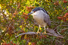 Backlit Night Heron